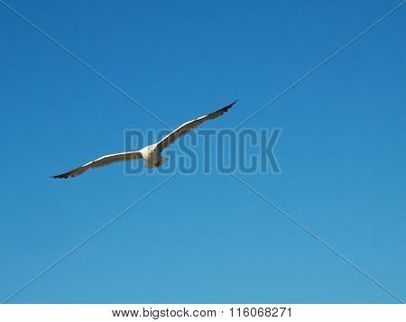 A Gull Flying.
