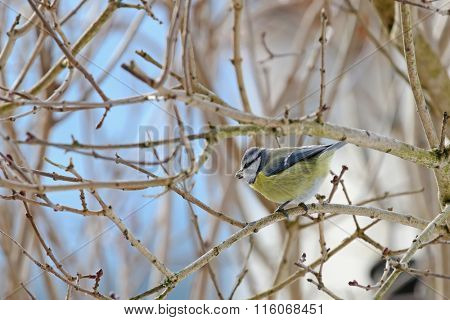 Cute Eurasian Blue Tit bird (Parus Caeruleus) perching on a branch with sunflower seed in its beak during Winter in Europe