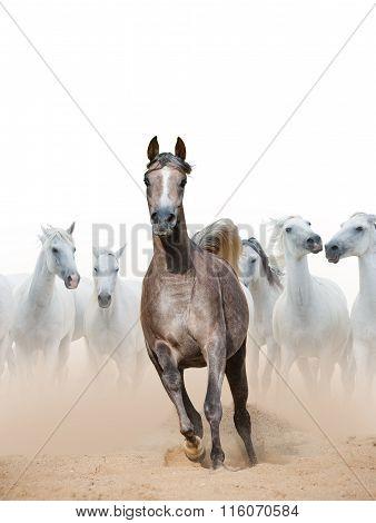 Arabian Horse Mare And White Horses