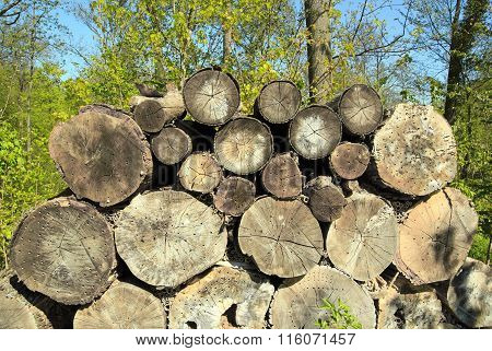 Trunks of trees pierced with small holes to accommodate insects.