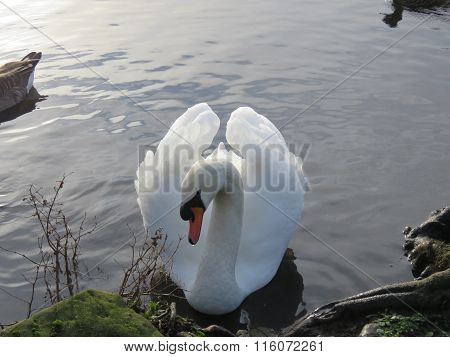 A Lone Swan