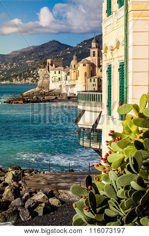 Prickly Pear On A Mediterranean Coastline In Camogli, Near Genoa, Italy