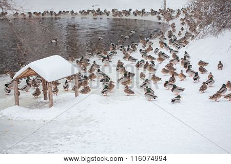 ducks on snow