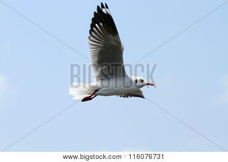 Seagull in wide-winged flight in the blue sky