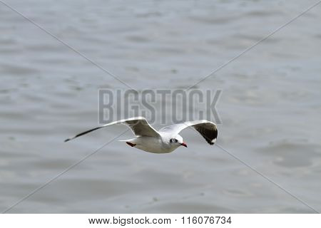 Seagull in wide-winged flight over the sea