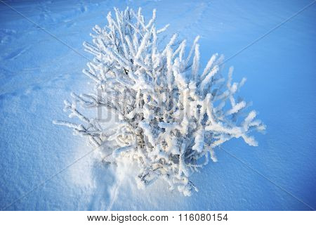 Shrub Covered With Hoarfrost Against The Blue Snow