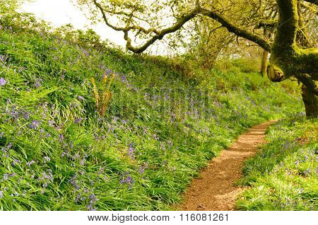 Path through the bluebells in Dorset, UK