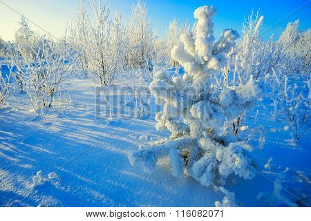 Pine Branches Covered With Frost In Winter