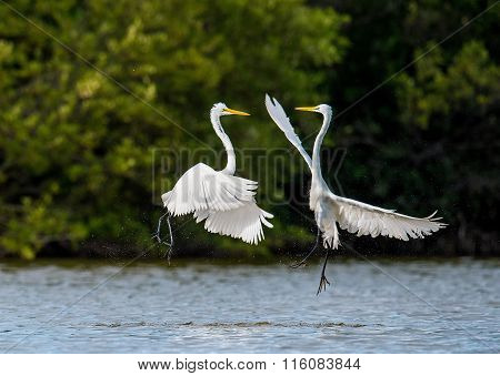 The Fighting Great Egrets ( Ardea Alba ).