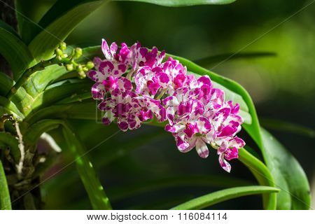 Rhynchostylis Gigantea The Flower In Orchid Farm