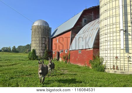 Donkeys walk away from barn