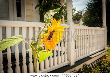 Sunflower in Front of White Porch