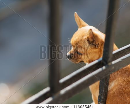 Red Chihuahua Dog Looking Down.