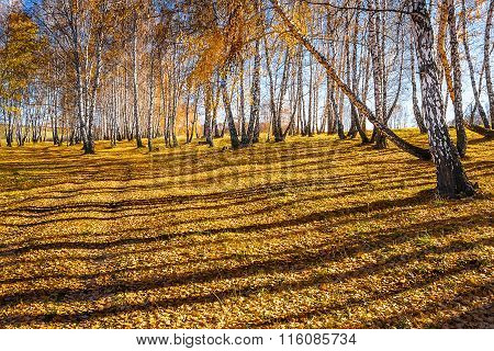 Autumn Landscape. Birch Grove With Yellow Fallen Leaves