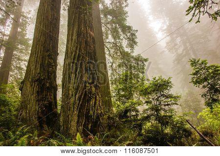 Dramatic Coastal Redwood Trees In Mist