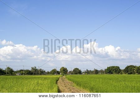 Paddy field of Thai rice with ears of rice. The field is in rural of Thailand Southeast Asia.