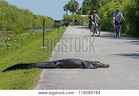 Alligator Lying on Bicycle Path