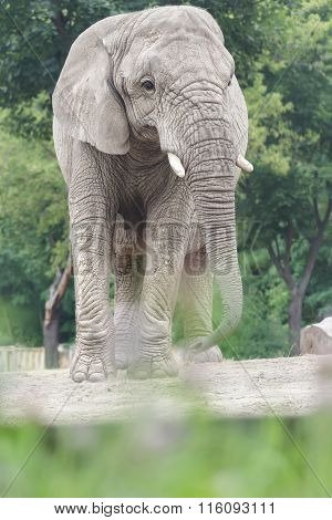 African elephant vulnerable species of animals standing among dry dusty land