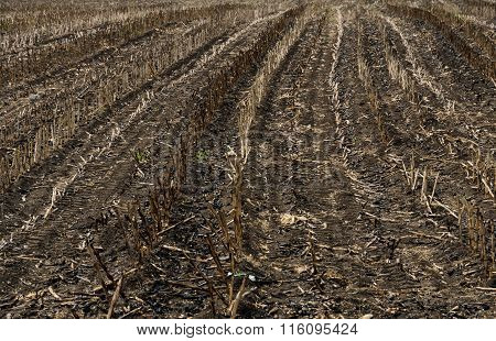 Burnt Sugarcane Field After Harvest