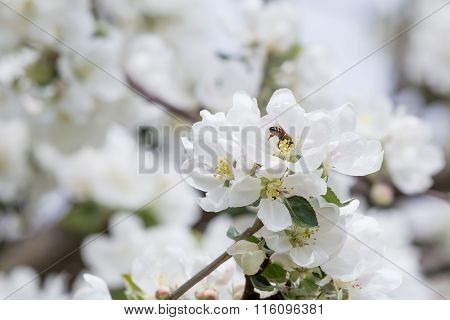 Honey bee during spring pollination on apple bloom