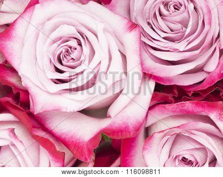 Beautiful Fragrant Flowers Pink Roses