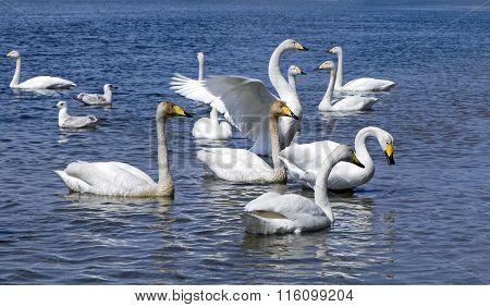 White whooper swan