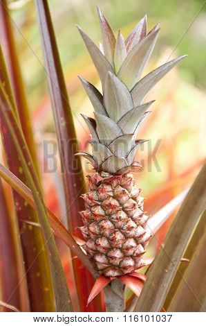 Red Pineapple