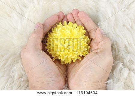 Yellow Chrysanthemum In Hand