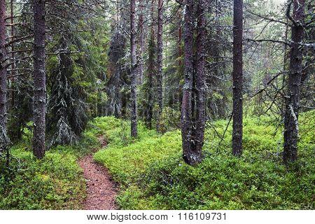 Misty forest on Kola peninsula