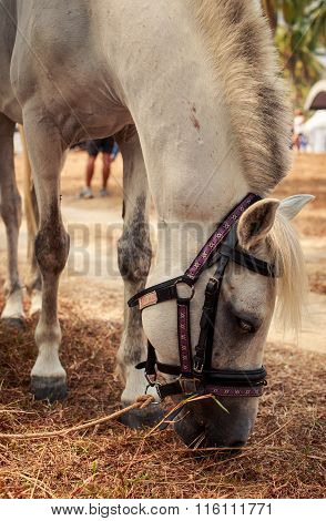 Closeup White Horse With Harness Eats Dry Grass Near Beach