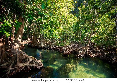 Mangrove Trees Interlaced Roots River Water Under Sunlight
