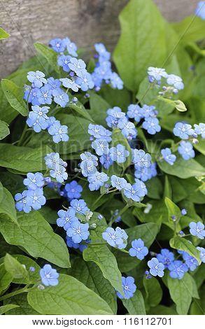 Blue Eyed Mary Flowers
