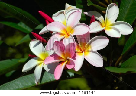 Flores Frangipani