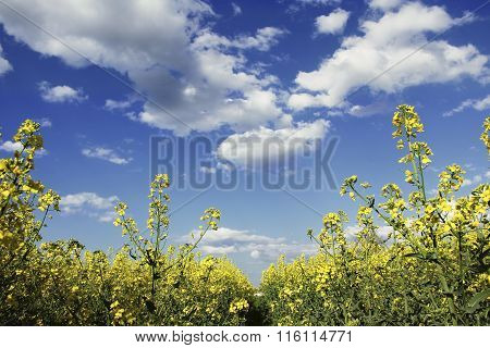 Rapeseed Field And Blue Sky With Clouds