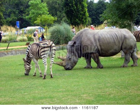 Rhinoceros And Zebra In The Zoo
