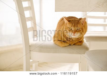Adorable Ginger Cat