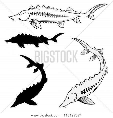 Set Of Sturgeon Vector Illustrations