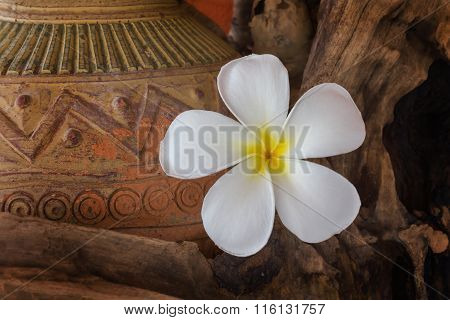 White Flower Plumeria With Dry Stump