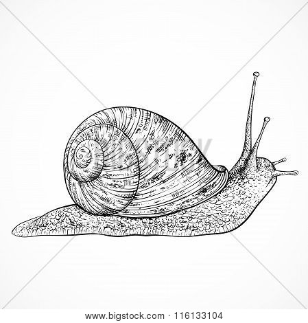Snail. Vintage hand drawn vector illustration