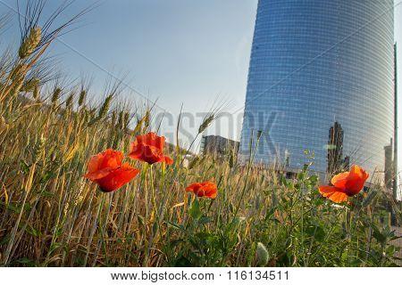 Wheatfield land in Milan