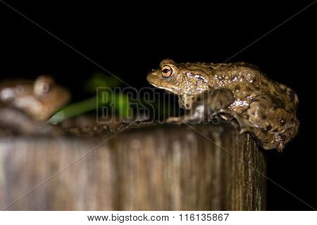 Two Toads (bufo Bufo)