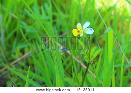 violets among the grass
