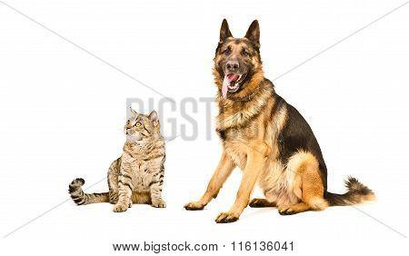German Shepherd and cat Scottish Straight