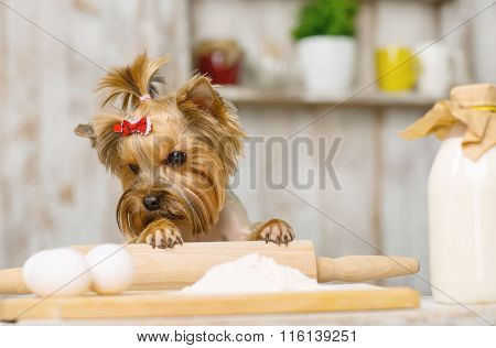 Little Yorkshire terrier staring at chicken eggs.