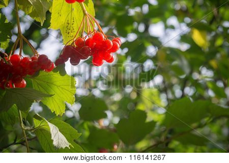 Rowan Branches With Berries