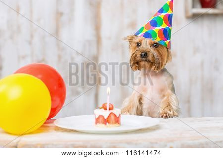 Yorkshire terrier in front of birthday cake.