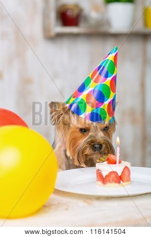 Yorkshire terrier sniffing at the cake.