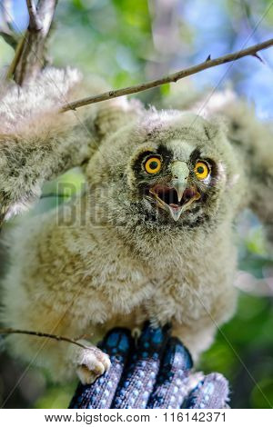 Young long-eared owl sitting on a hand
