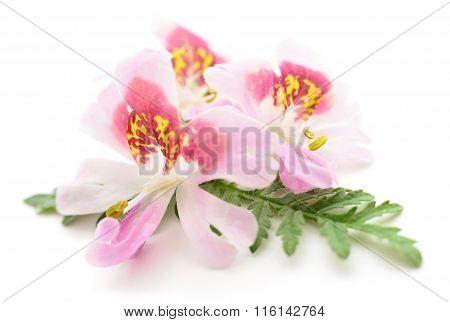 Three Pink Flowers.