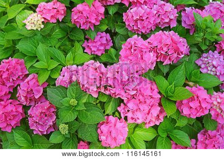 Pink Hydrangea macrophylla, hortensia, blossoming in the garden during summer time in Europe